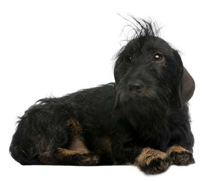 Dachshund, 2 years old, lying in front of white background photo