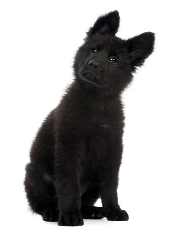 German Shepherd Dog puppy, 10 weeks old, sitting in front of white background Stock Photo - 8029651