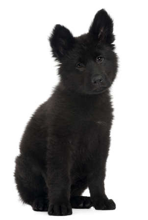German Shepherd Dog puppy, 10 weeks old, sitting in front of white background photo