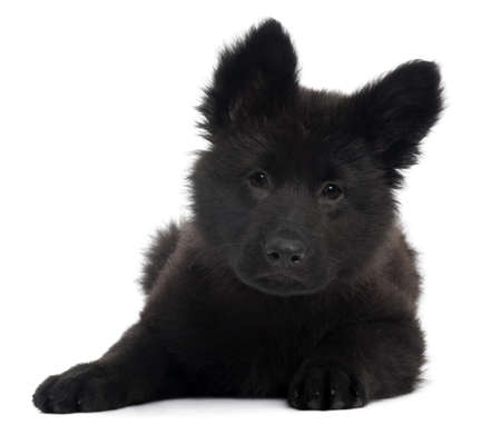 German Shepherd Dog puppy, 10 weeks old, lying in front of white background Stock Photo - 8029644