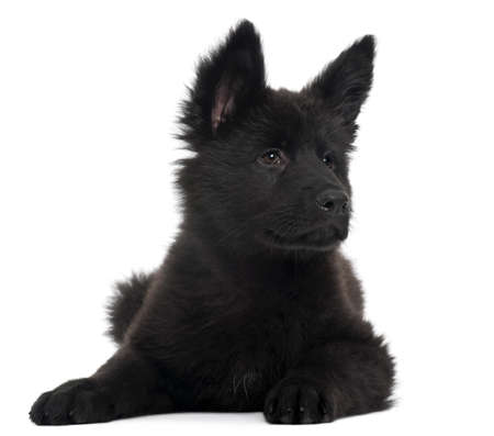 German Shepherd Dog puppy, 10 weeks old, lying in front of white background Stock Photo - 8029625
