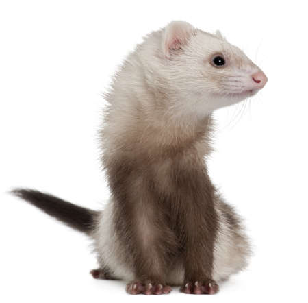 2 years old: Ferret, 2 years old, in front of white background Stock Photo