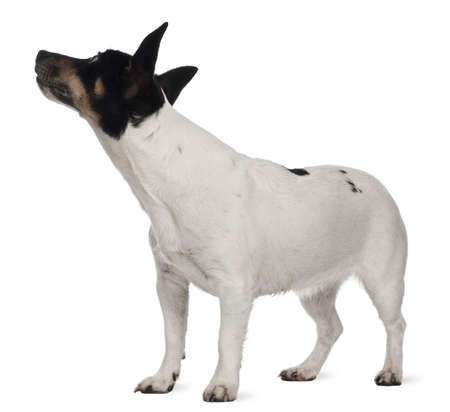 Jack Russell Terrier, 5 years old, standing in front of white background photo