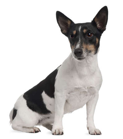 Jack Russell Terrier, 5 years old, sitting in front of white background photo