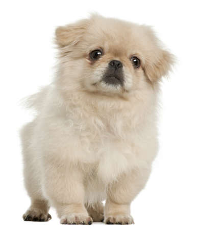 pekingese: Pekingese puppy, 5 months old, standing in front of white background