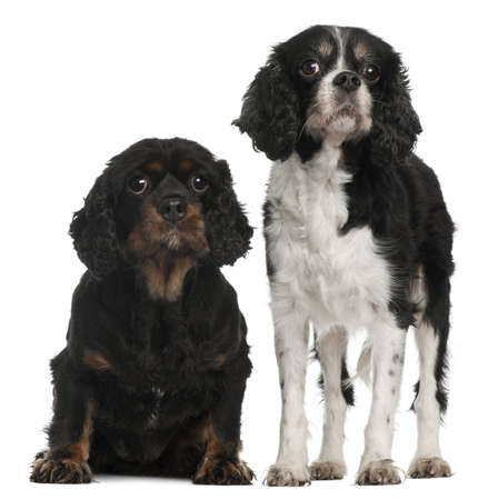 cavalier king charles spaniel: Cavalier King Charles Spaniels, 9 and 7 years old, in front of white background