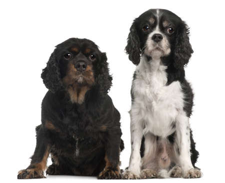 Cavalier King Charles Spaniels, 9 and 7 years old, in front of white background photo