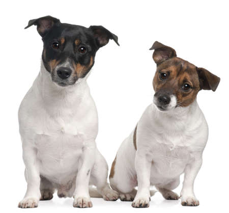 Jack Russell Terriers, 4 and 2 years old, sitting in front of white background photo