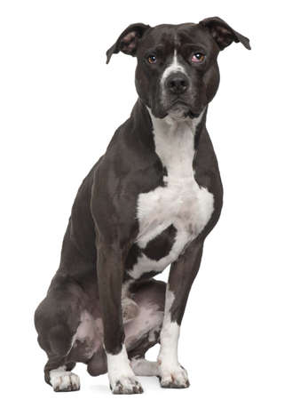 bull dog: American Pit Bull Terrier, 5 years old, sitting in front of white background