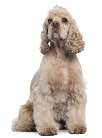 american cocker spaniel: American Cocker Spaniel, 6 years old, sitting in front of white background Stock Photo