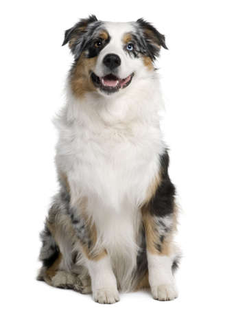 Australian Shepherd dog, 9 months old, sitting in front of white background photo