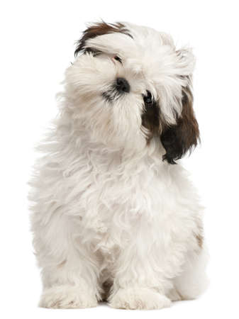 tilting: Shih Tzu puppy, 3 months old, sitting in front of white background