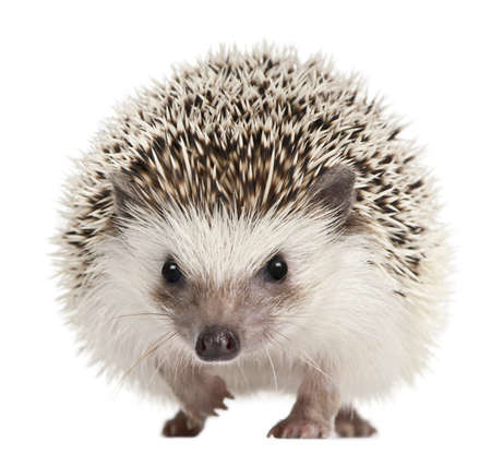 hedgehog: Four-toed Hedgehog, Atelerix albiventris, 2 years old, in front of white background