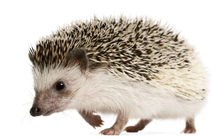 2 years old: Four-toed Hedgehog, Atelerix albiventris, 2 years old, walking in front of white background Stock Photo