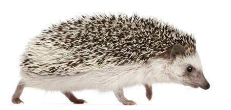 Four-toed Hedgehog, Atelerix albiventris, 2 years old, walking in front of white background photo
