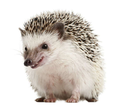 Four-toed Hedgehog, Atelerix albiventris, 2 years old, in front of white background photo