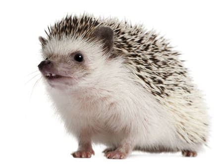 spiky: Four-toed Hedgehog, Atelerix albiventris, 2 years old, in front of white background