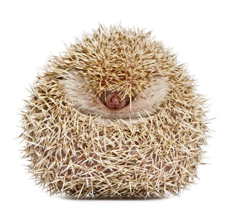 Four-toed Hedgehog, Atelerix albiventris, 2 years old, balled up in front of white background photo