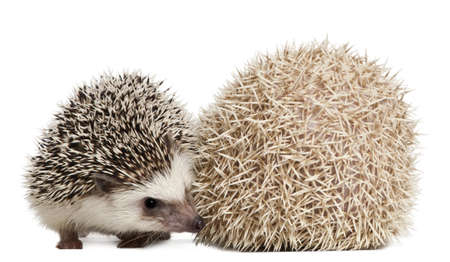 weeks: Four-toed Hedgehogs, Atelerix albiventris, 3 weeks old, in front of white background