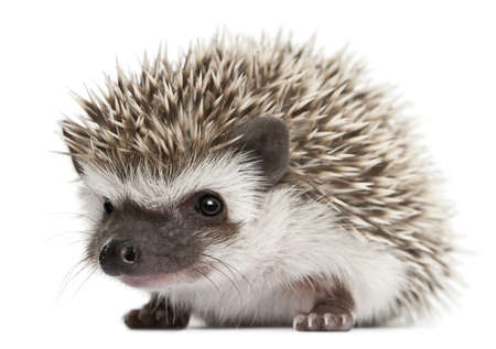 spiky: Four-toed Hedgehog, Atelerix albiventris, 3 weeks old, in front of white background