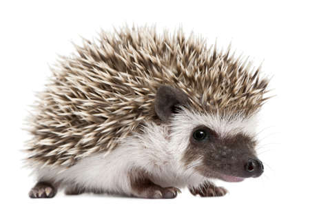 weeks: Four-toed Hedgehog, Atelerix albiventris, 3 weeks old, in front of white background