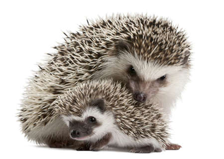 Tetradactylus hedgehogs, Atelerix albiventris, 3 settimane, davanti a sfondo bianco Archivio Fotografico