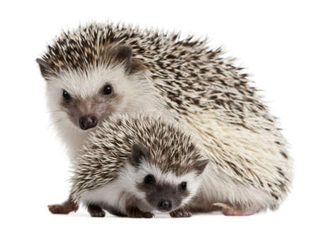spiky: Four-toed Hedgehogs, Atelerix albiventris, 3 weeks old, in front of white background