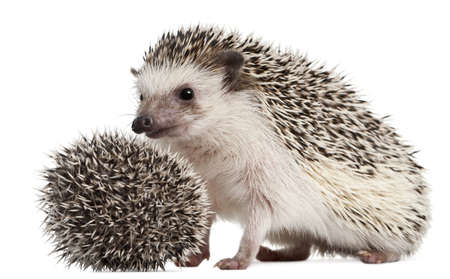 Four-toed Hedgehogs, Atelerix albiventris, 3 weeks old, in front of white background photo