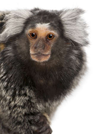 marmoset: Common Marmoset, Callithrix jacchus, 2 years old, in front of white background