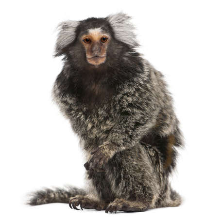 marmoset: Common Marmoset, Callithrix jacchus, 2 years old, sitting in front of white background