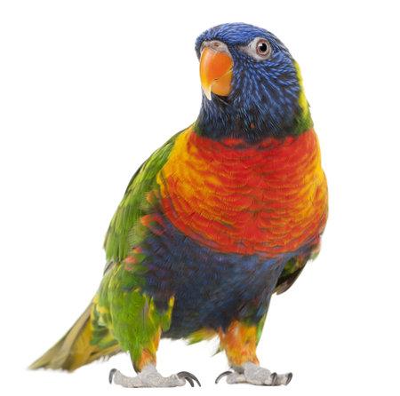 parrot: Regenboog lori, Trichoglossus haematodus, 3 jaar oud, staande in voorzijde van de witte achtergrond  Stockfoto
