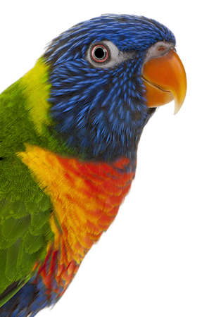 Rainbow Lorikeet, Trichoglossus haematodus, 3 years old, in front of white background