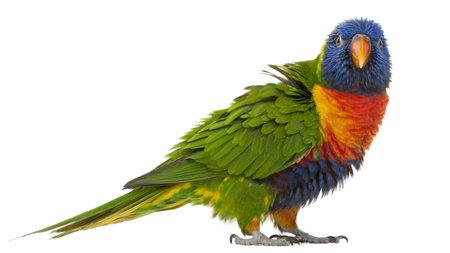 pappagallo: Lorichetto arcobaleno, Trichoglossus haematodus, 3 anni, in piedi davanti a sfondo bianco