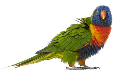 parrot: Rainbow Lorikeet, Trichoglossus haematodus, 3 years old, standing in front of white background