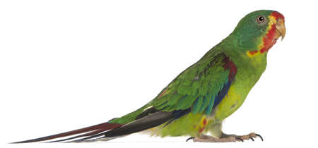 Swift Parrot, Lathamus discolor, 2 years old, standing in front of white background Stock Photo - 8210312