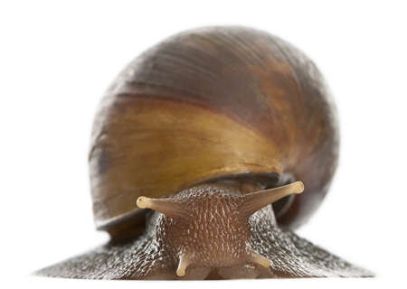 gastropod: Giant African land snail, Achatina fulica, 5 months old, in front of white background Stock Photo