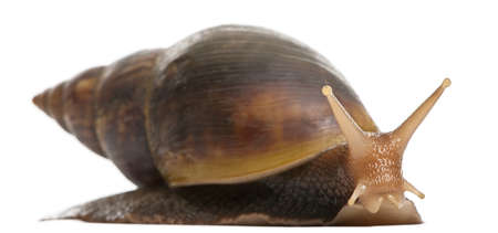 snails: Giant African land snail, Achatina fulica, 5 months old, in front of white background Stock Photo