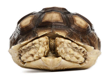 spurred: African Spurred Tortoise, Geochelone sulcata, 1 year old, in front of white background