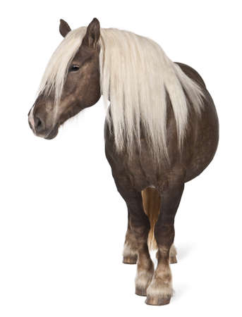 10 years old: Comtois horse, a draft horse, Equus caballus, 10 years old, standing in front of white background Stock Photo
