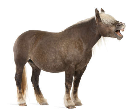 10 years old: Comtois horse, a draft horse, Equus caballus, 10 years old, standing with mouth open in front of white background