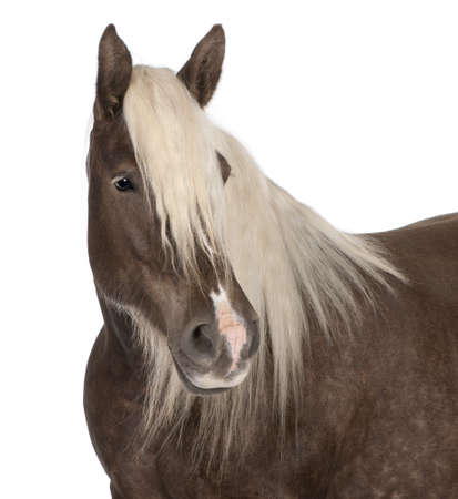 Comtois horse, a draft horse, Equus caballus, 10 years old, in front of white background Stock Photo - 8211024