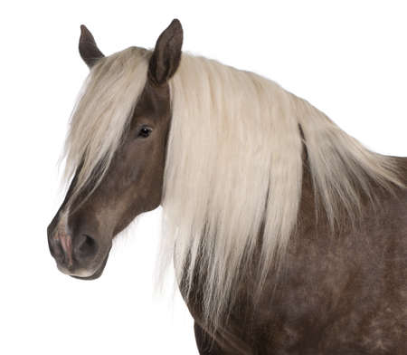 draft horse: Comtois horse, a draft horse, Equus caballus, 10 years old, in front of white background