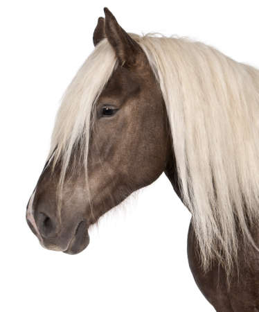 10 years old: Comtois horse, a draft horse, Equus caballus, 10 years old, in front of white background