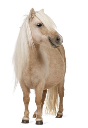 ponies: Palomino Shetland pony, Equus caballus, 3 years old, standing in front of white background Stock Photo