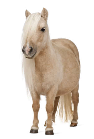 pony: Palomino Shetland pony, Equus caballus, 3 years old, standing in front of white background Stock Photo
