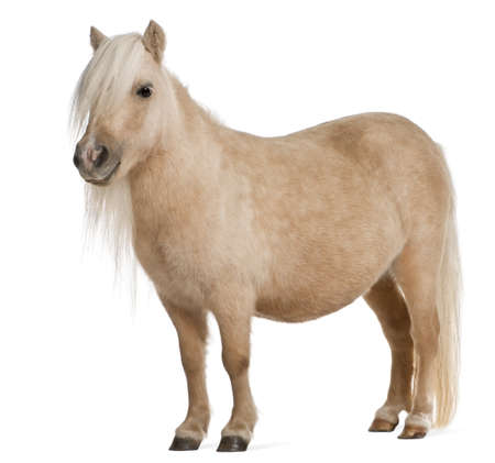 shetland pony: Palomino Shetland pony, Equus caballus, 3 years old, standing in front of white background Stock Photo