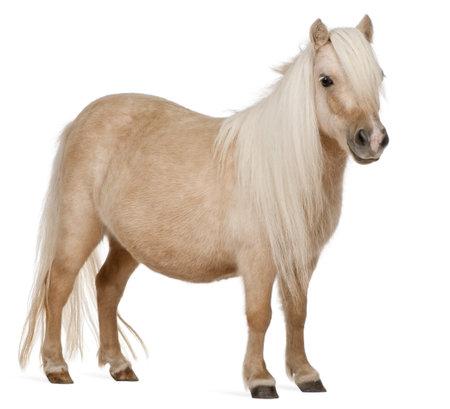 shetland pony: Palomino Shetland pony, Equus caballus, 3 years old, standing in front of white background Stock Photo