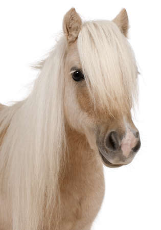ponies: Palomino Shetland pony, Equus caballus, 3 years old, in front of white background