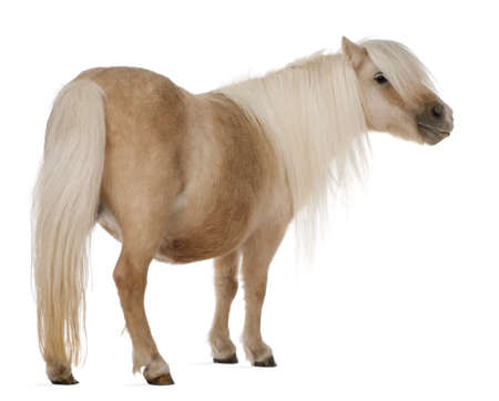 domestic horses: Palomino Shetland pony, Equus caballus, 3 years old, standing in front of white background Stock Photo
