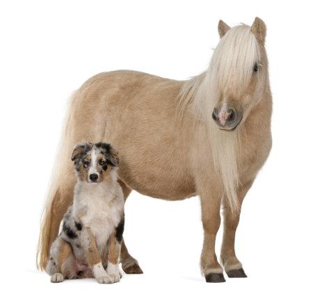 犬歯: パロミノ シェトランド ・ ポニー、エクウス caballus、3 歳、オーストラリアン シェパードの子犬、4 ヶ月、白い背景の前に